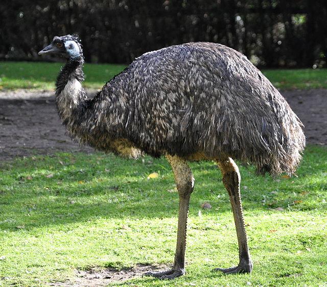 Da dieu Emu