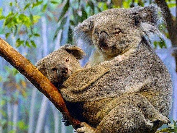 gau koala- bieu tuong nuoc Uc